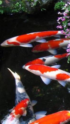 Cá chép mùa đông - Thiếu Nhi