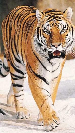 Con hổ không còn răng - Thiếu Nhi
