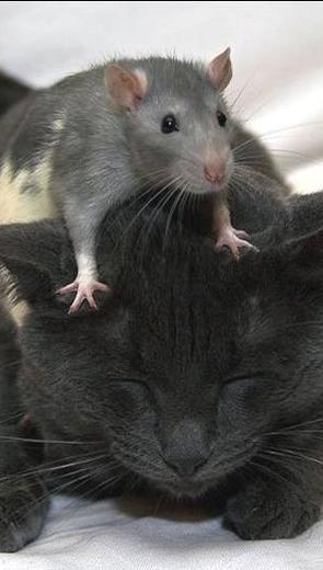 Mèo và chuột - Thiếu Nhi