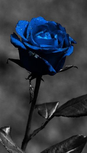 Truyền thuyết hoa hồng xanh - Thiếu Nhi
